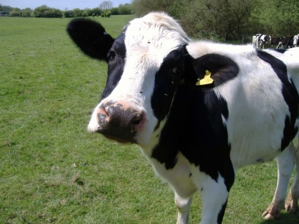 blog cow 640x480